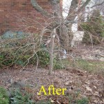 Lace leaf Japanese maple after pruning