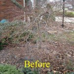 Lace leaf Japanese maple before pruning
