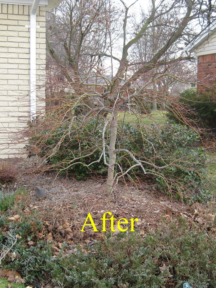 Lace Leaf Anese Maple Before Pruning